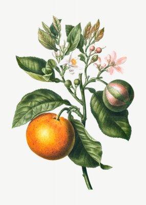 Póster Orange tree branch
