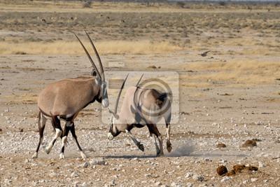 Orix (Gemsbok) que luchan