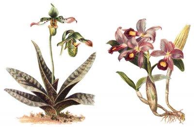 Póster Orquídea - izquierda Paphiopedilum venustum y derecha Cattleya Skinneri / ilustración vintage