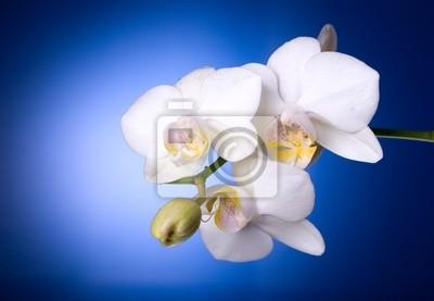 orquídeas en color azul