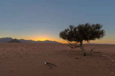 Oryx horns at lone sheperd's tree at sunset