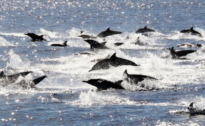 Póster Pacífico delfín común Estampida