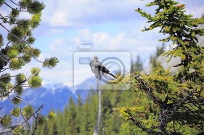Pájaro en la montaña Sulphur. Parque Nacional de Banff. Canadá.