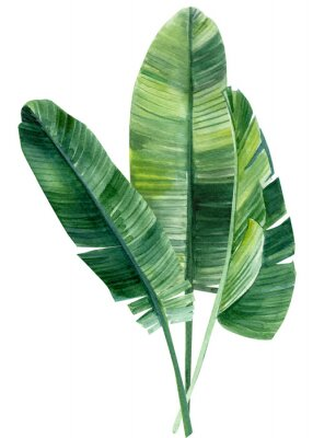 Póster palm tree, leaves of tropical forests on an isolated white background, watercolor illustration