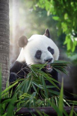Póster panda