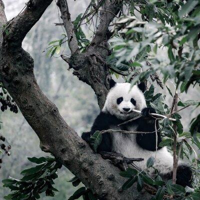 Póster Panda en el árbol