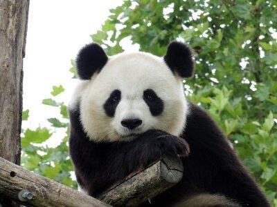 Póster Panda Geant 3