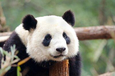 Póster Panda gigante - Triste, Cansado, Pose aspecto aburrido. Chengdu, China