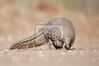 Pangolín buscando hormigas