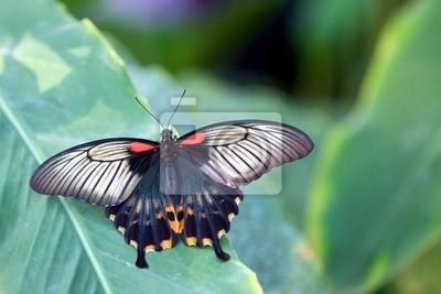 Papilionidae asiática