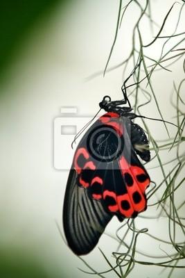 Papilionidae Scarlet