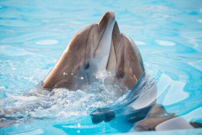 Póster Par de delfines bailando en el agua