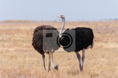 Pareja de avestruz