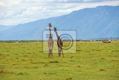 Pareja de jirafas
