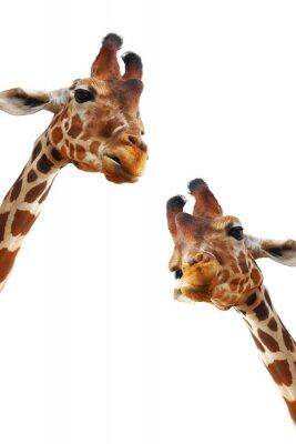 Póster Pareja de jirafas retrato del primer aislado en el fondo blanco