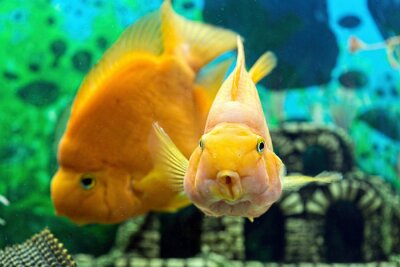 Póster Parrotfish en el acuario de cerca