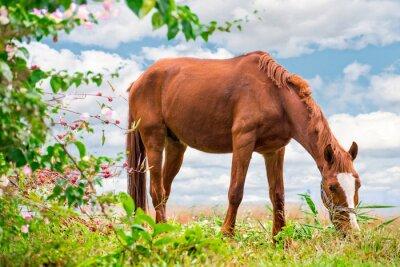 Póster Pastando marrón Caballo en el verde Pasto con una hermosa naturaleza