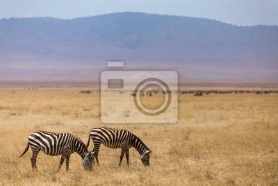 Pastoreo de cebras en el cráter de Ngorongoro en Tanzania