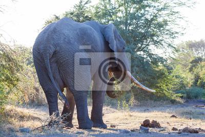 Pastoreo Elefante