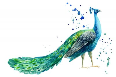 Póster peacock bird on a white background, watercolor hand drawing