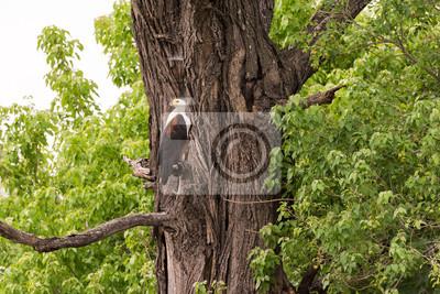 Peces águila posado en el árbol