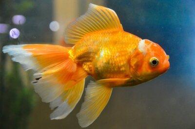 Póster Peces dorados, peces dorados bajo el agua