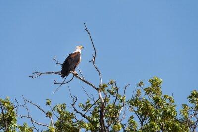 Peces Eagle Encaramado
