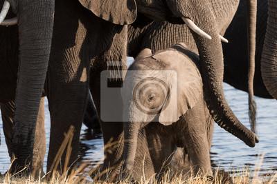 Pequeño elefante protegido por la familia