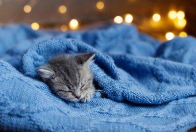 Póster Pequeño gatito durmiendo bajo una manta