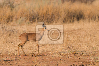 Perfil masculino del retrato del Steenbok