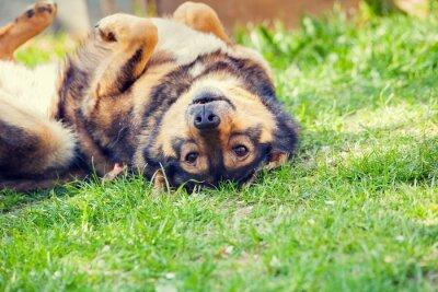 Póster Perro acostado en la espalda en la hierba