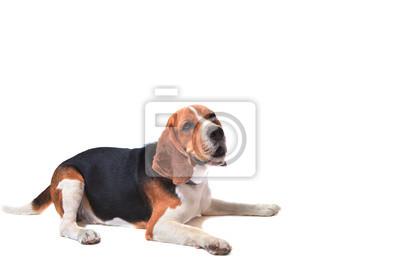 perro beagle en el fondo blanco