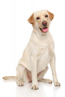 Póster Perro Labrador retriever