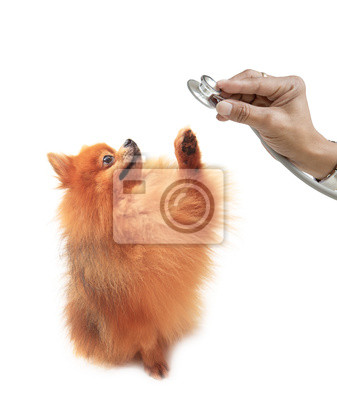 perro pomerania y mano que sostiene aislados en blanco estetoscopio