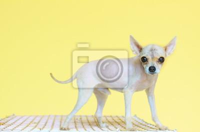 perro pomeranian preparación de pieles
