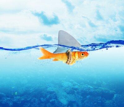Póster Pescado rojo como el tiburón