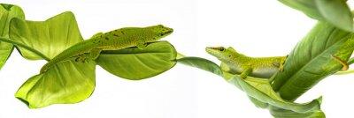 Póster Phelsuma madagascariensis - gecko aislado en blanco