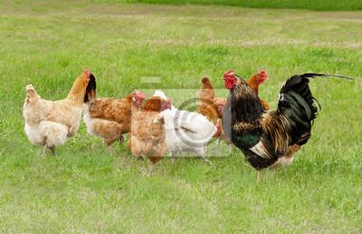 Pollos pastan en la hierba