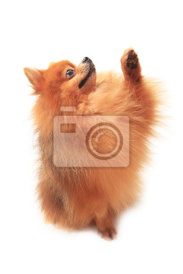 pomeranian ascensor perro pata delantera en blanco