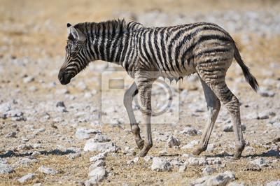 Potro de la cebra mojado, Etosha, Namibia