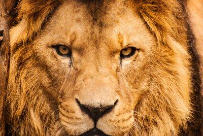 Póster Primer retrato de un león africano