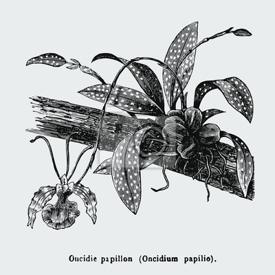 Póster Psychopsis papilio, or butterfly orchid, also known as Oncidium papilio, is a flower in the family Orchidaceae. Vintage encyclopedia illustration, engraving, scientific botany , plant clip art.