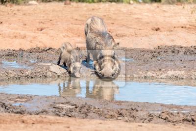 Puerca de Warthog y lechones de agua potable