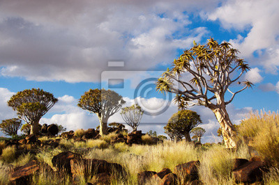 Quiver Tree Forest. Kokerbooms en Namibia, África