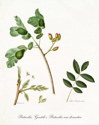 Póster Rama de pistacho con hojas y otros elementos botánicos. Toda la composición está aislada sobre fondo blanco. Antigua ilustración botánica detallada de Giorgio Gallesio publicada en 1817, 1839.