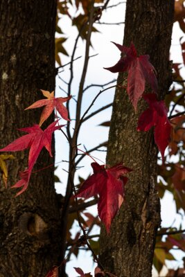 Red colored autumn leaves
