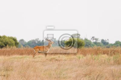 Red Lechwe en Botsuana