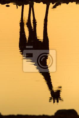 Reflexión de la jirafa en un agujero de agua.