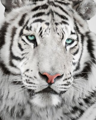 Póster Retrato blanco elegante del tigre