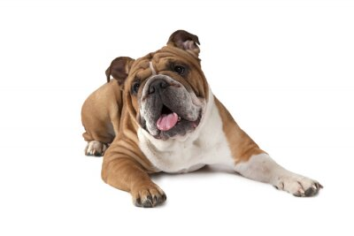 Póster Retrato de Bulldog Inglés sobre fondo blanco